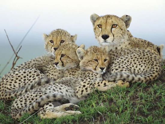 """Cheetah 15K.6  Cheetah 15K.6  Cheetah 15K.6  Cheetah 15K.6  Cheetah 15K.6   再来欣赏一下美丽的猎豹,猎豹体态苗条,风度翩翩,所以与长颈鹿和斑马并称为动物界的""""三王子""""有空有钱的人最好能到非洲亲眼看看(动物园的就算了):  猎豹母子   基本上,和豹子不同,猎豹是很温顺的动物,自从人类历史开始,就有驯服猎豹作为宠物的记录。  猎豹母子   猎豹和狮子都可以从小到大放心地驯养,老虎和豹子小时候比较可爱,长大了"""